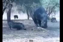 video whatsapp rinoceronte