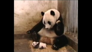 video whatsapp susto oso panda